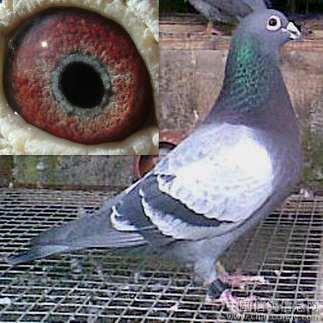17212本舍种鸽眼睛特写1823866自拍自家种鸽供大111721