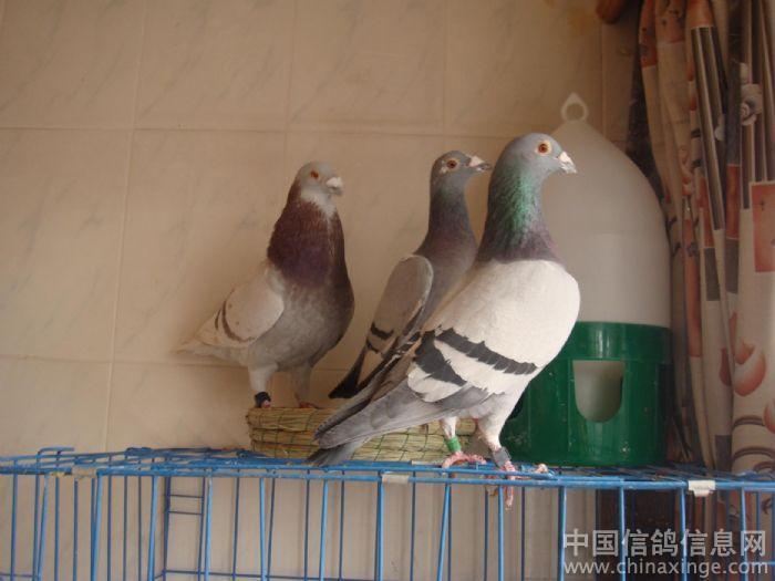 阳台鸽舍--中国列传信息网视频信鸽货殖相册图片