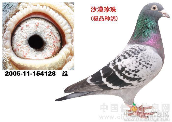 """松涛兄弟鸽舍-中国信; 上图是""""沙漠珍珠眼"""".图片"""