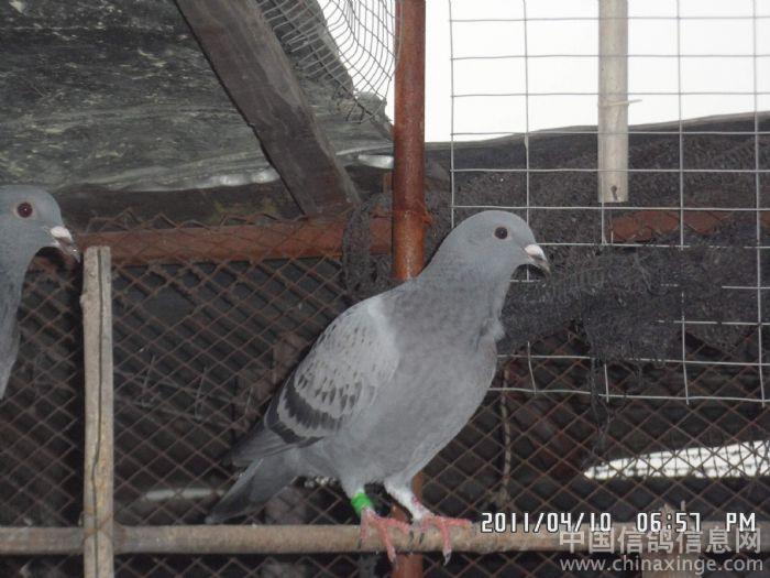 动物 鸽 鸽子 鸡 鸟 鸟类