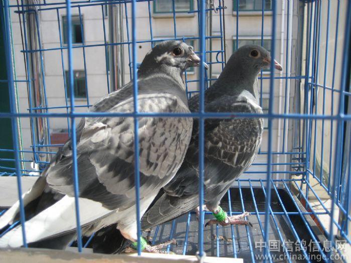 中信网友    时间:2011-4-18 16:13:00 这样的笼子和位置,小鸽子开棚