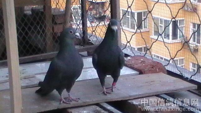 我的信鸽鸽舍--中国相册信息网梦幻解说阳台视频图片