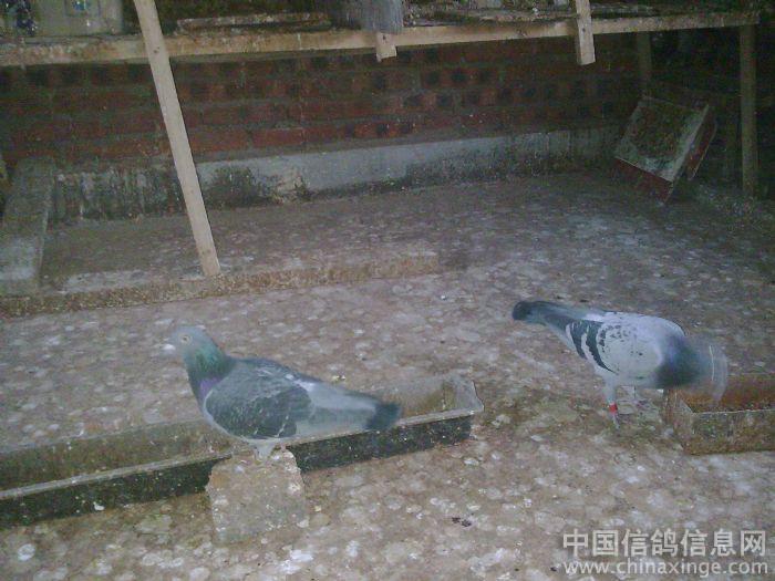 新手养鸽图片