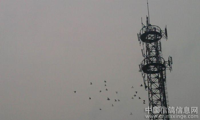 围绕着联通信号塔飞翔呢!