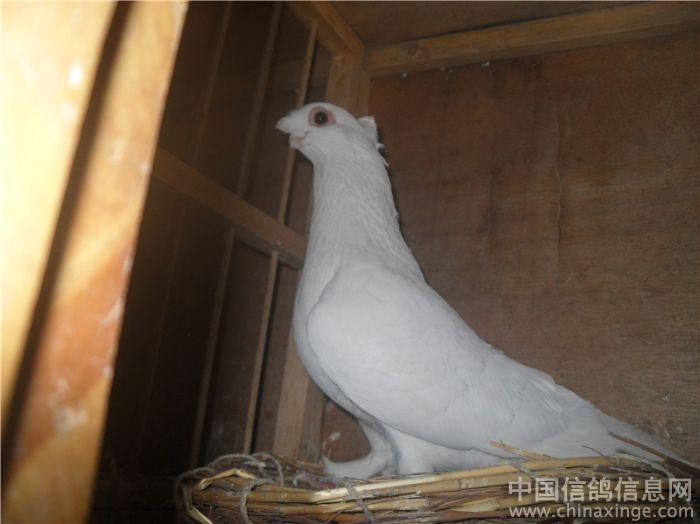 新疆短嘴鸽