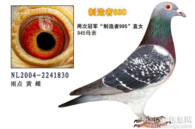 信鸽眼沙配对图片-世界名鸽眼沙图片 鸽子眼沙图片 快速鸽眼沙图片