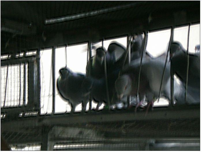 阳台鸽舍也疯狂
