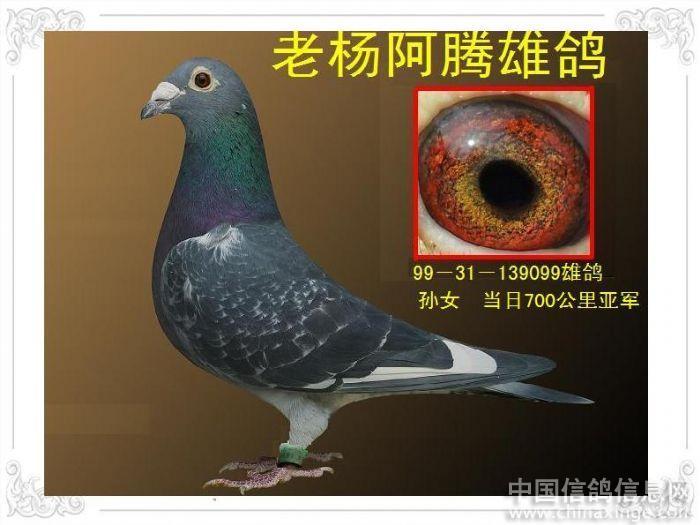 表图 世界名鸽眼砂配对图
