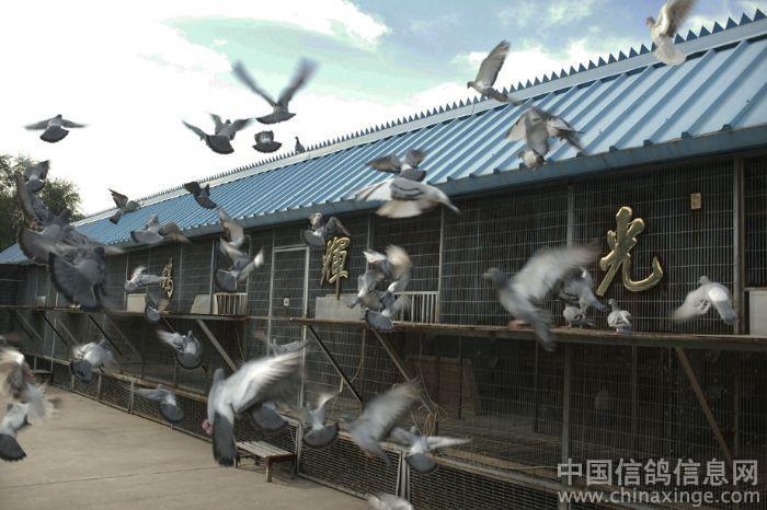 作品说明 光辉鸽舍.参加 秀鸽舍 晒亮点 摄影赛 ---中国信鸽信息网相册