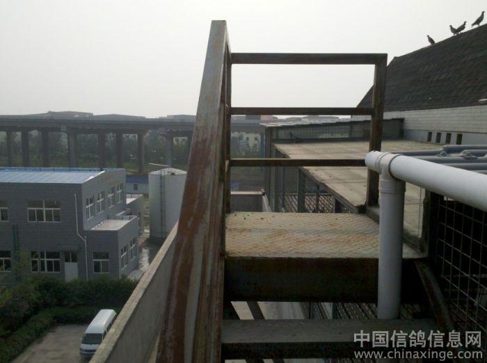 梯上来, 看看鸽舍顶部!宽敞的降落台让赛鸽回来有后更快更准的进