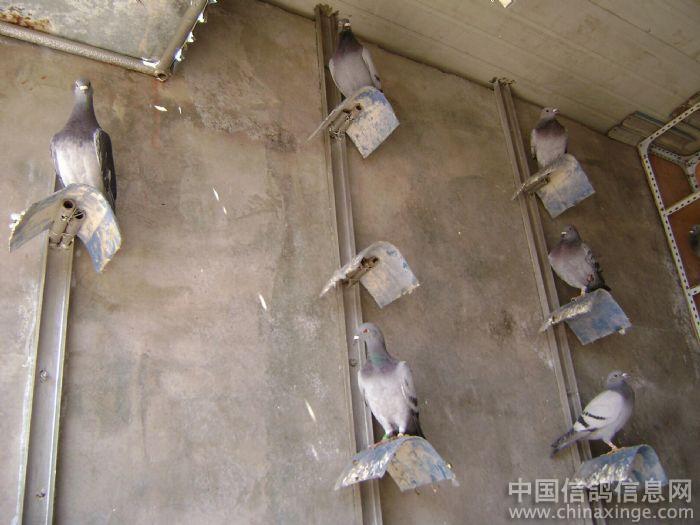 信鸽鸽棚设计图片展示