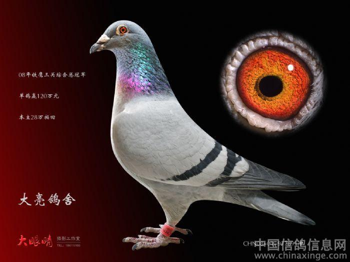 信鸽标准照--中国信鸽信息网相册