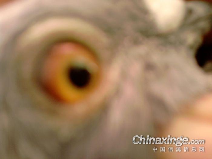 赛鸽 中国信鸽信息网相册 -赛鸽图片