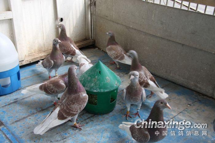 (老泰山)张义鸽舍--中国信鸽信息网相册