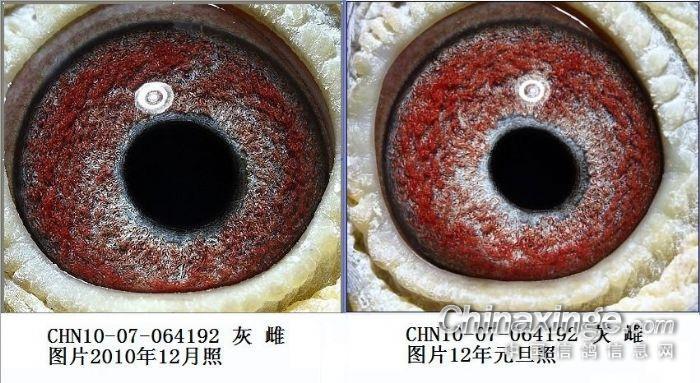 鸽子眼睛的成长与变化