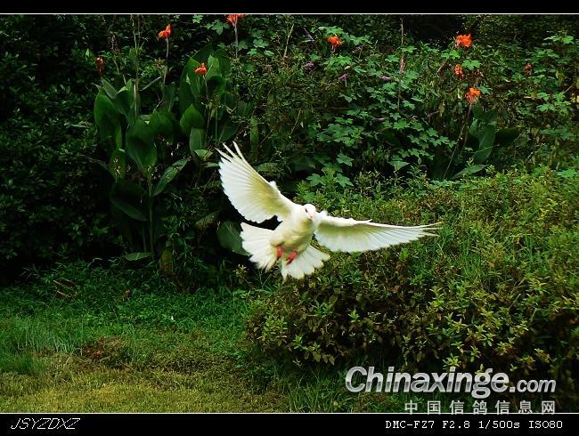 白鸽飞翔的简笔画内容白鸽飞翔的简笔画版面设计