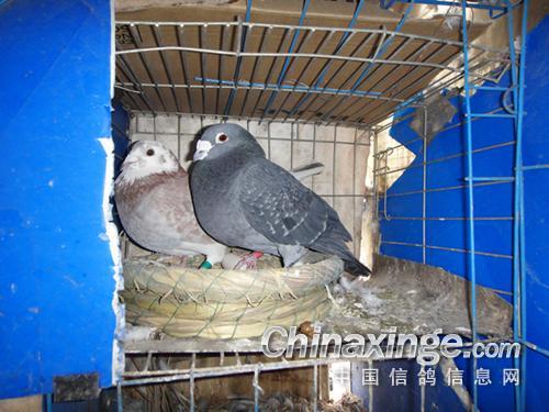 ... 养鸽鸽笼设计图 信鸽鸽笼设计图,鸽笼设计图图片