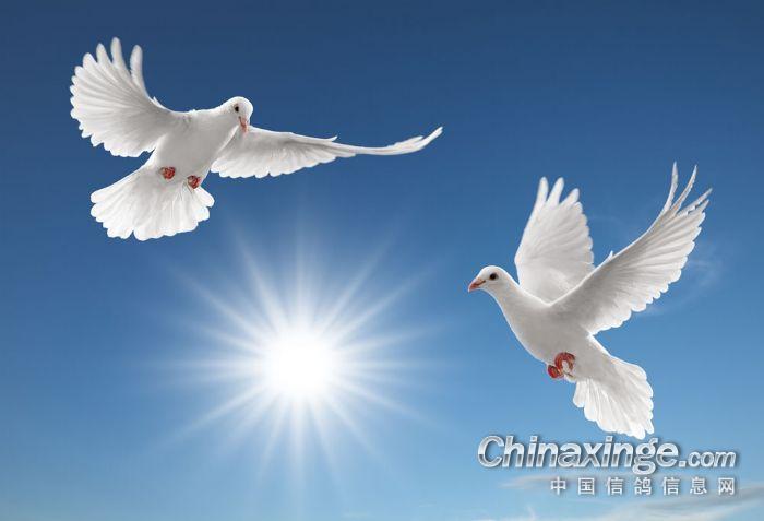 大连 虎伯鸽舍 向全国鸽友问好 祝大家节日快乐 全家幸福 鸽运亨通 ---