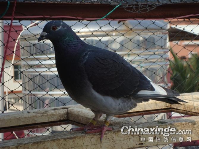 鸽子简笔画黑色