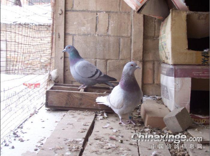 学校阳台小鸽舍图片