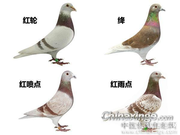 信鸽羽色配对_羽色配对--中国信鸽信息网相册