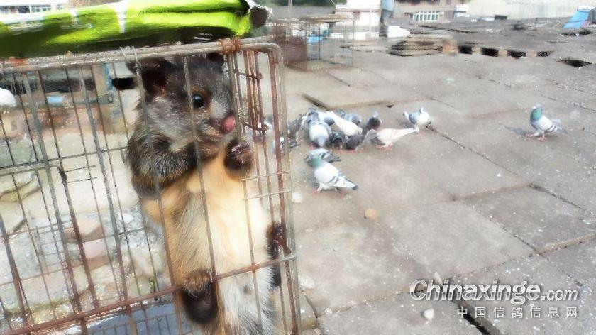 国家一级保护动物飞鼠图
