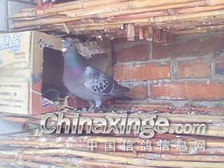 顶部 鸽舍 里面-农村简陋鸽棚图片 不花钱做鸽棚图片 小型鸽棚 阳台图片
