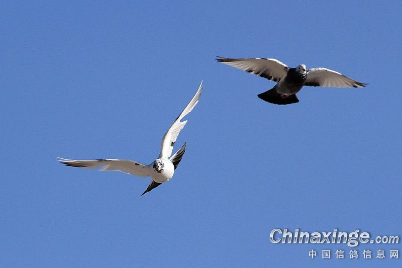 中国信鸽协会_唯美组图:鸽子爱飞翔-中国信鸽信息网
