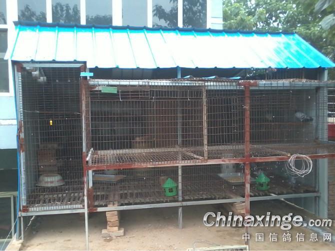 信鸽--中国视频信息网相册罗宣信鸽图片