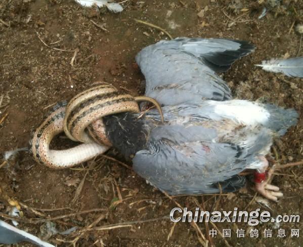 蛇吞最大的动物图片