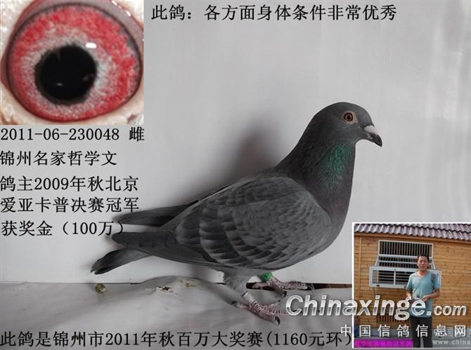 便.人家专门把鸽子关在笼子里方便抓.. -我的信鸽图片