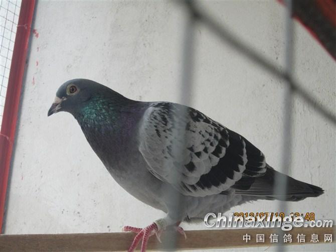 我的鸽子 中国信鸽信息网相册 -我的鸽子图片