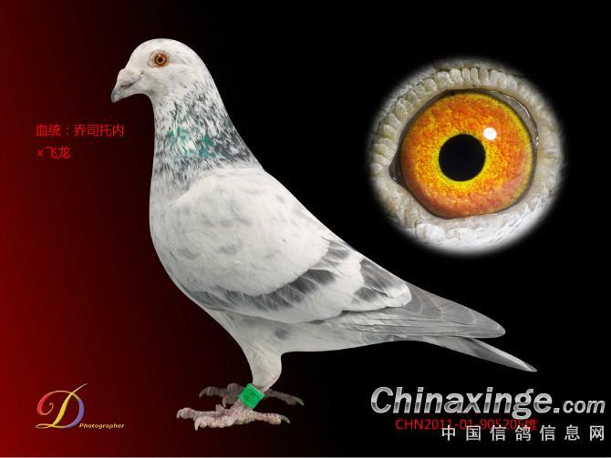 可爱的天使--中国信鸽信息网相册