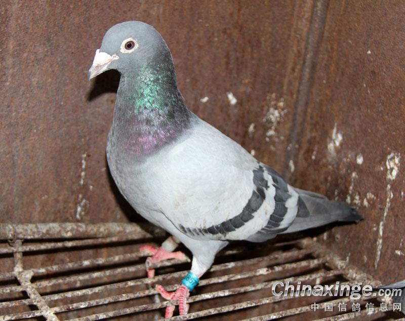 片 鸽子的外形特点 西翁信鸽