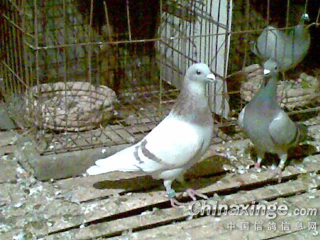 鸽吉林的鸽子去年进我鸽舍的..-农村90小伙 农村养鸽图片