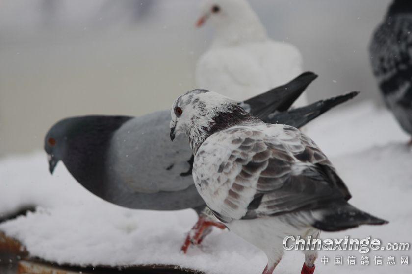 图库经典回顾:雪中飞鸽 全部