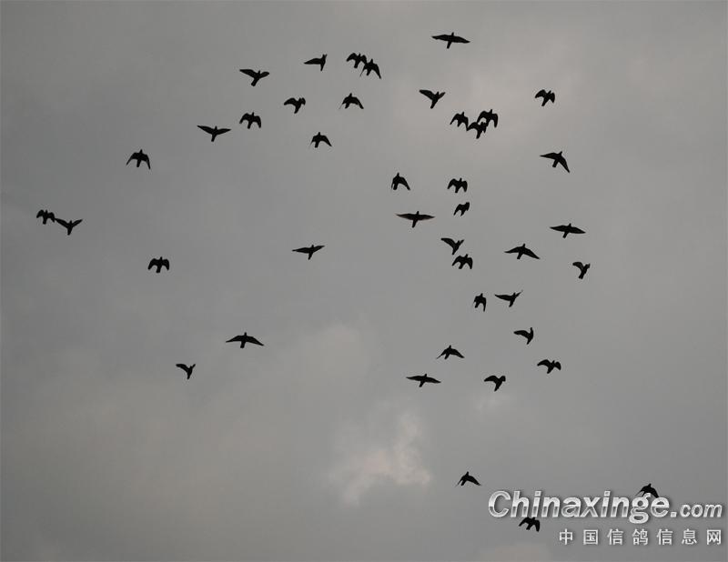 看鸽子飞翔--中国信鸽信息网相册