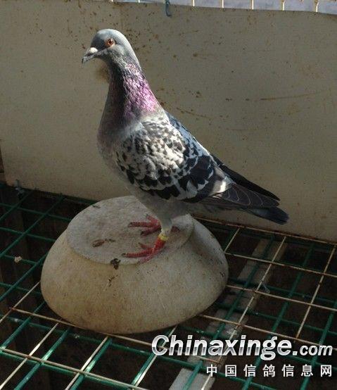 148192雨点 中国信鸽信息网相册 -寻找爱鸽CHN2012 12 148192雨点图片