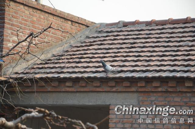 提高比赛成绩的好方法--中国信鸽信息网相册