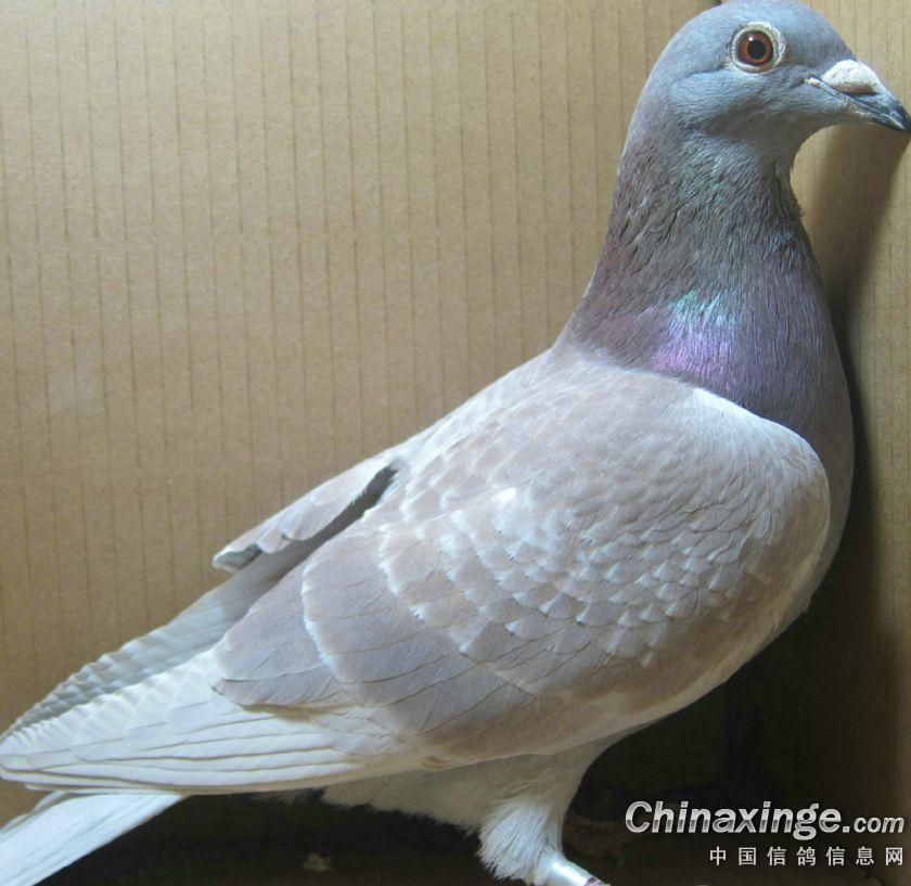 放不下的情缘--中国信鸽信息网相册