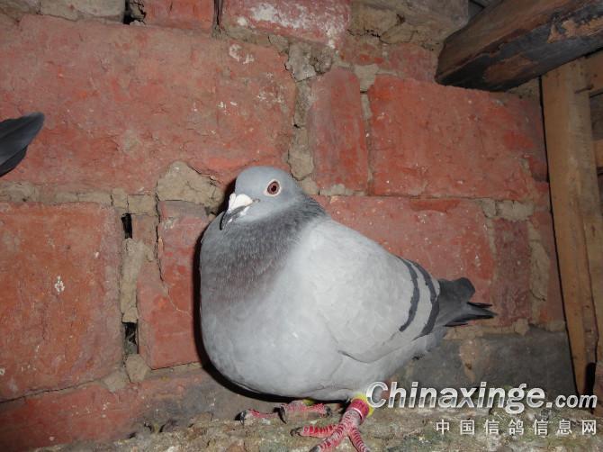 一,从鸽粪便的形状分    信鸽粪便的形状是观察信鸽身体健康与否