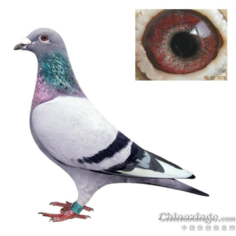 信鸽图片_家具