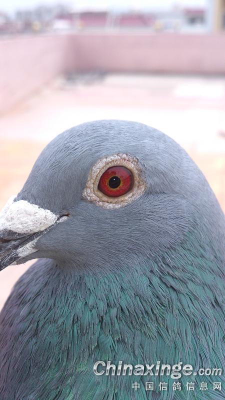 新手养鸽,图片