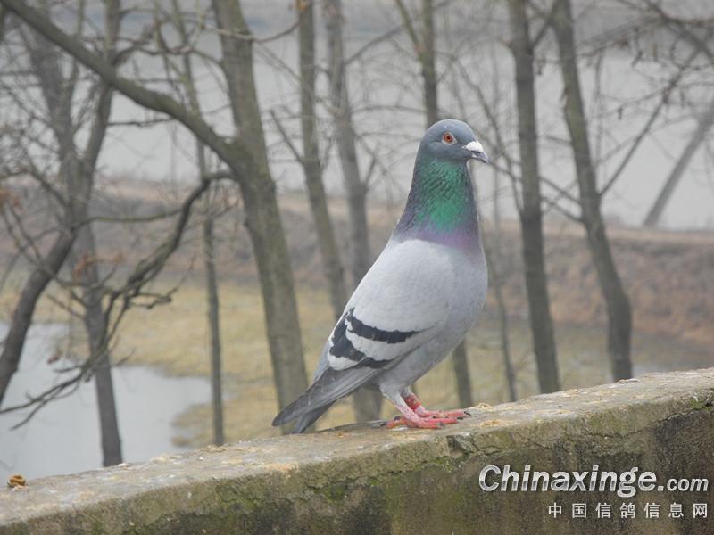 农村散养鸽子 随便拍的 中国信鸽信息网相册 高清图片