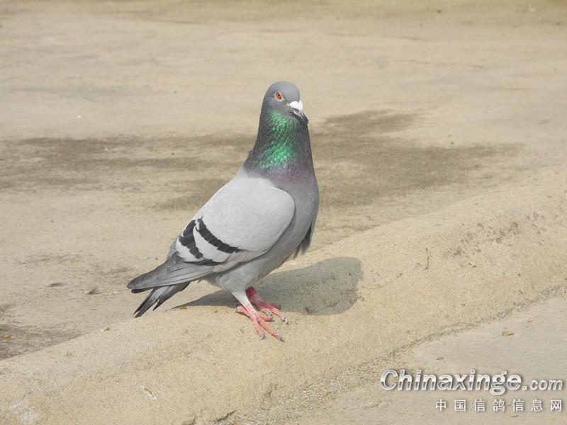 农村散养鸽子随便拍的图片