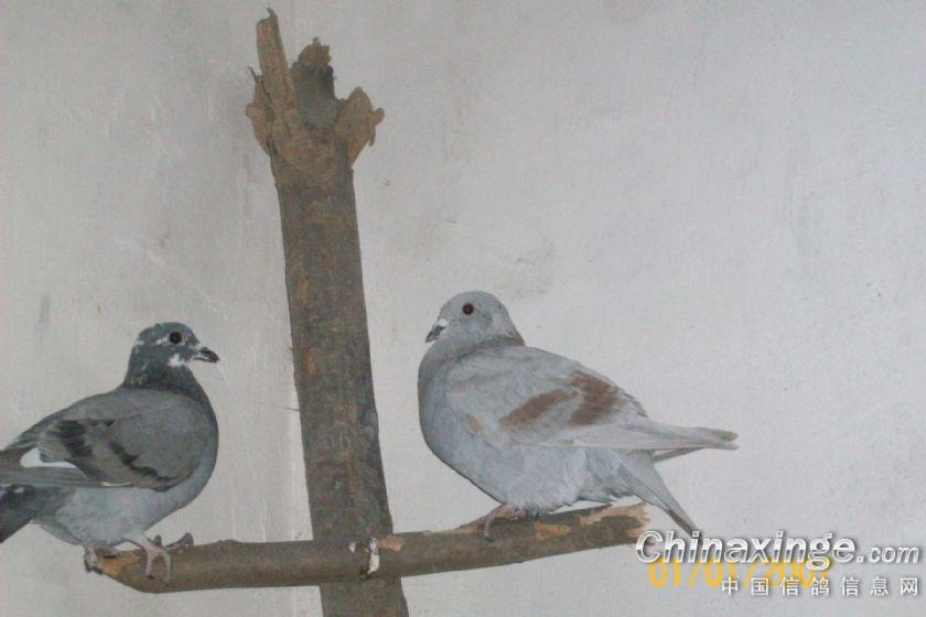新手养鸽鸽子丢完了图片