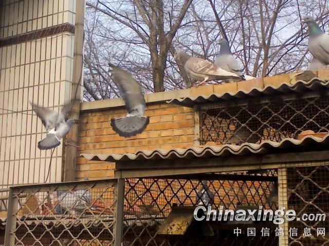 鸽的生活照--中国信鸽信息网相册