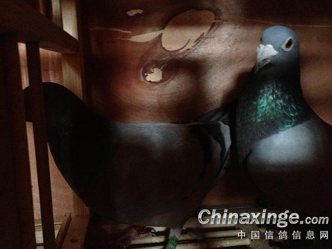 春天花会开!--中国信鸽信息网相册
