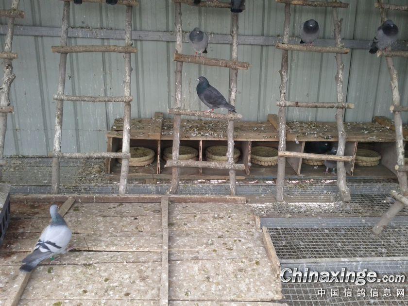 木制鴿子籠子設計圖分享展示