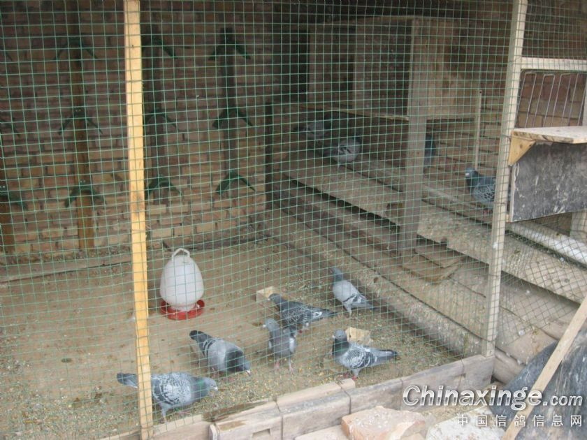 2013年鸽舍v信鸽--中国信鸽信息网相册五视频涛被打图片